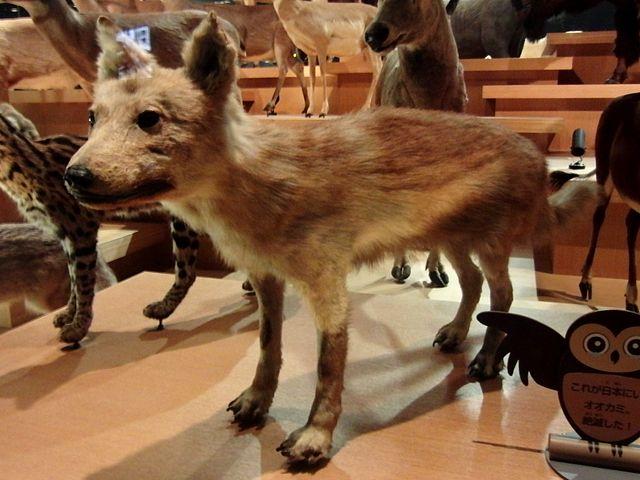 Japanese Wolf.jpg